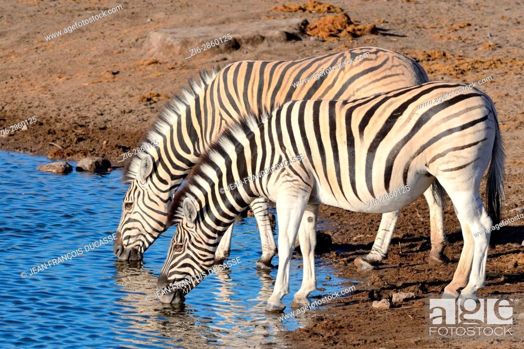 Stock Photo: Burchell's zebras (Equus quagga burchellii), drinking at waterhole, Etosha National Park, Namibia, Africa.