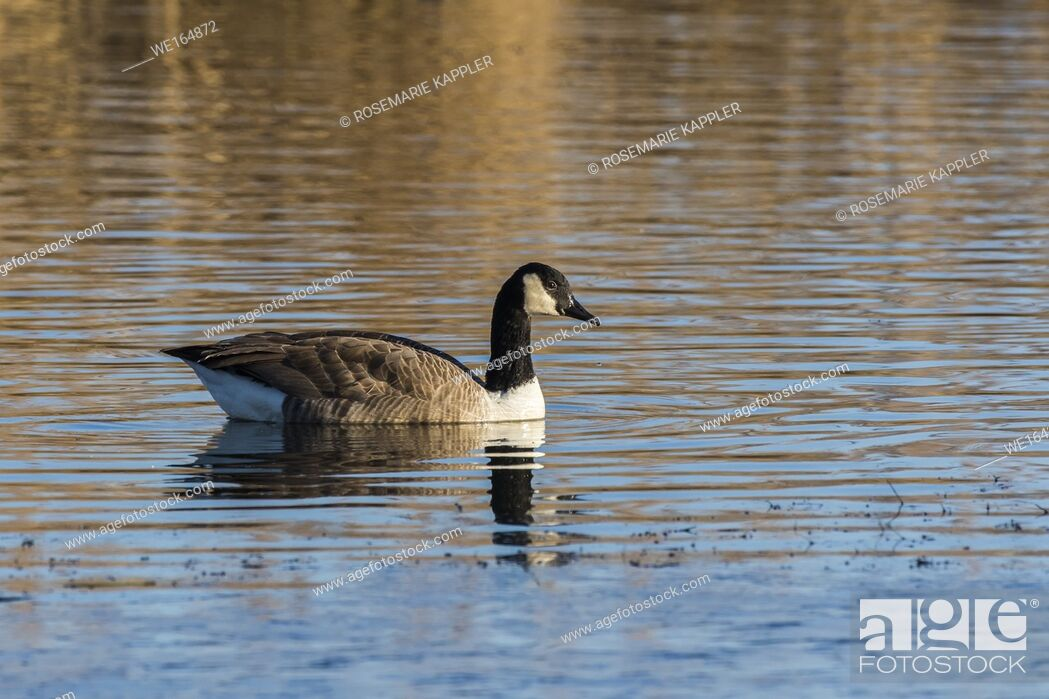 Stock Photo: Canada geese in the Biotop of Beeden near Homburg.