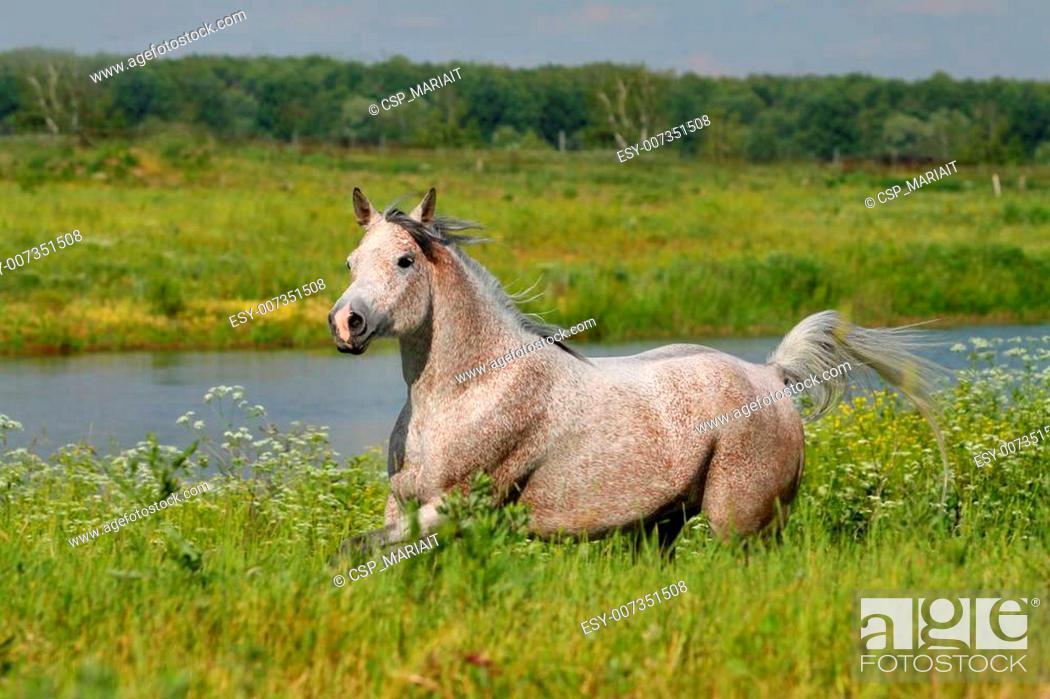 Stock Photo: arabian horse.