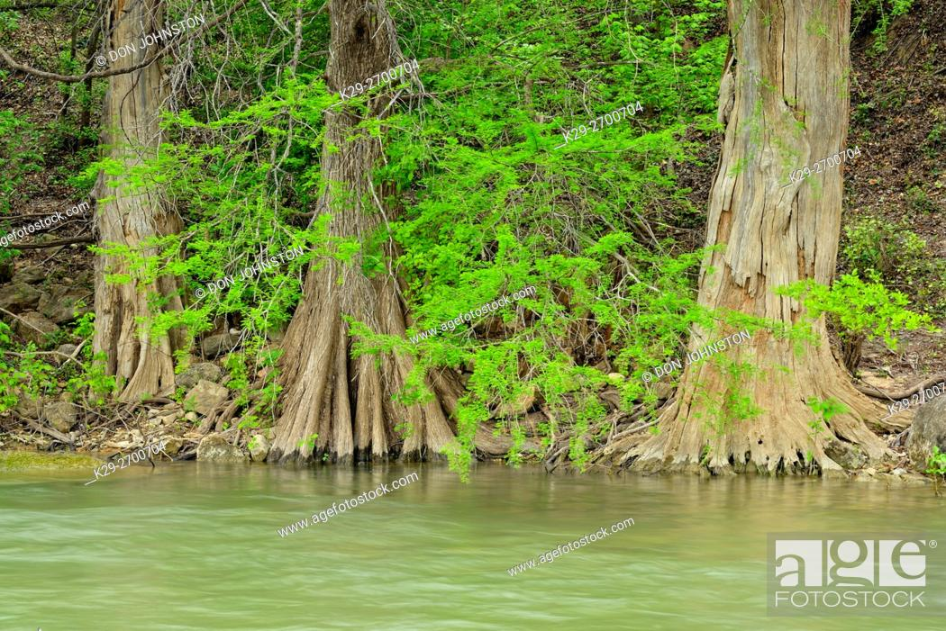 Stock Photo: Pedernales River in spring with cypress trees, Travis County, Texas, USA.