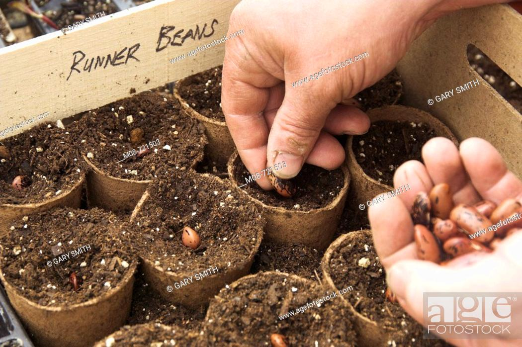 Stock Photo: Sowing Runner bean Seed in peat pots in the greenhouse, Norfolk, UK.