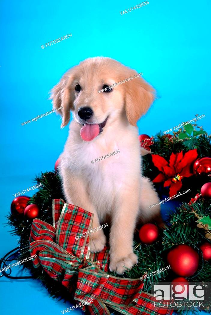 Stock Photo: canine, domestic animal, closeup, close up, looking away, companion, golden retriever.