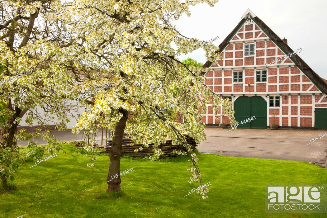 Stock Photo: Blossoming trees in front of a half-timbered house with thatched roof, near Jork, Altes Land, Lower Saxony, Germany.