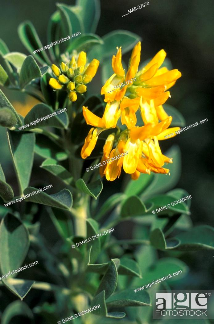 Stock Photo: medicago arborea flowers, marseille, france.