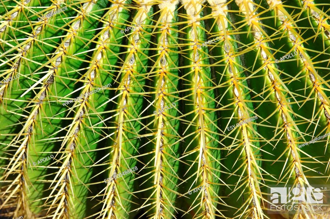 Stock Photo: Sharp spines of the Golden Barrel cactusi, Echinocactus grusonii,.