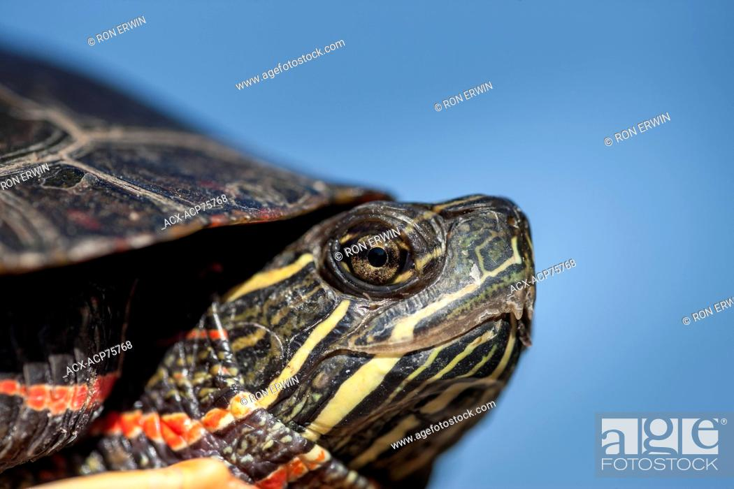 Stock Photo: Close-up head shot of a Midland Painted Turtle (Chrysemys picta marginata), Municipality of Gordon/Barrie Island on Manitoulin Island, Ontario, Canada.