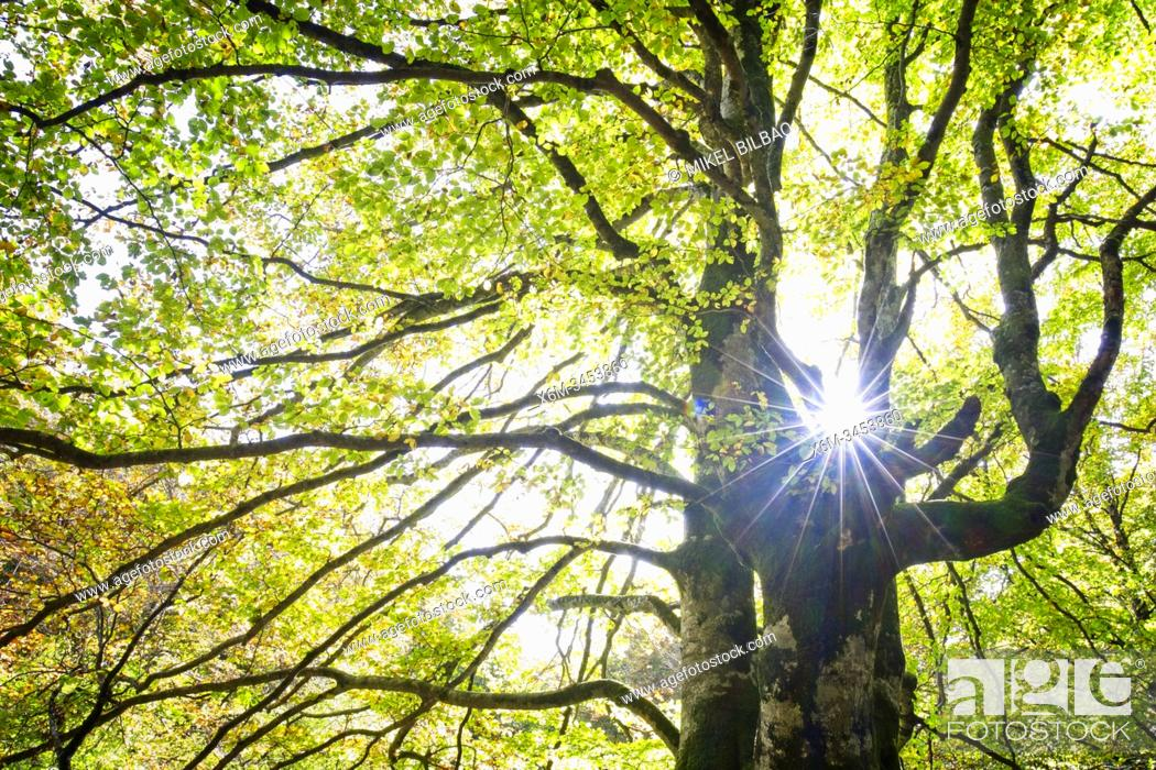 Imagen: Beech tree in autumn in a beechwood. Urbasa-Andia Natural Park. Navarre, Spain, Europe.