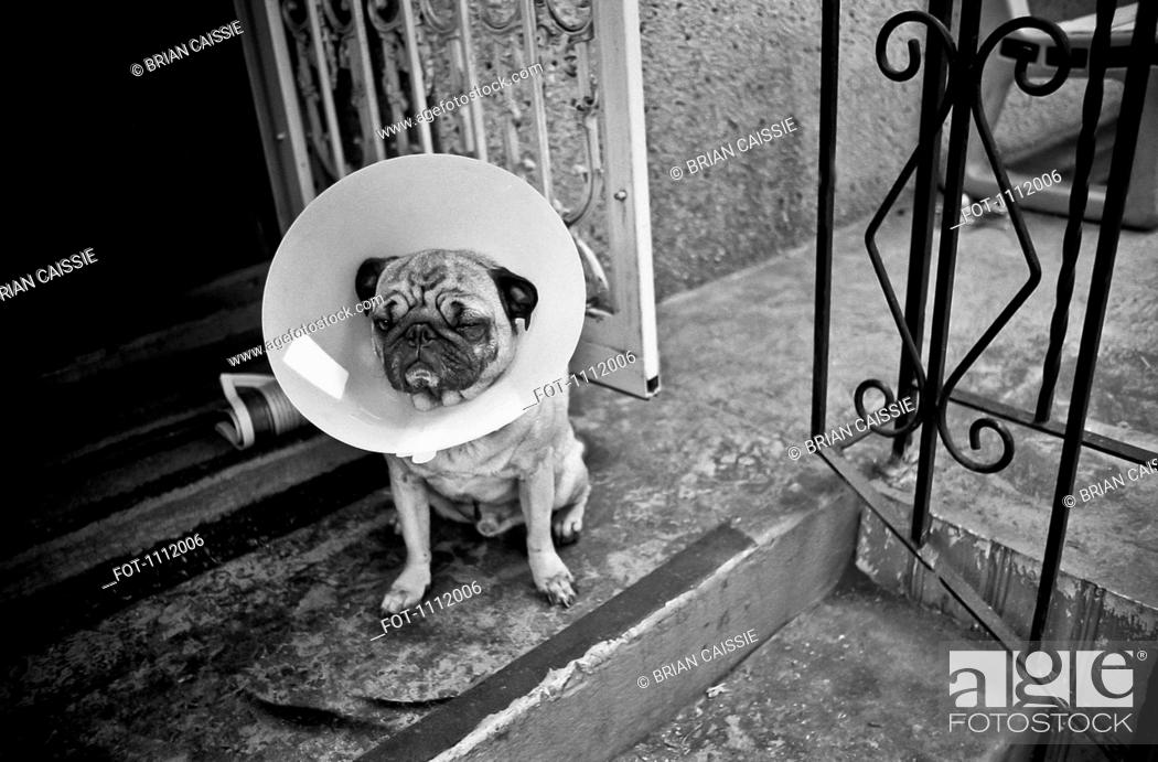 Stock Photo: A Pug with a protective cone collar on sitting on front stoop.