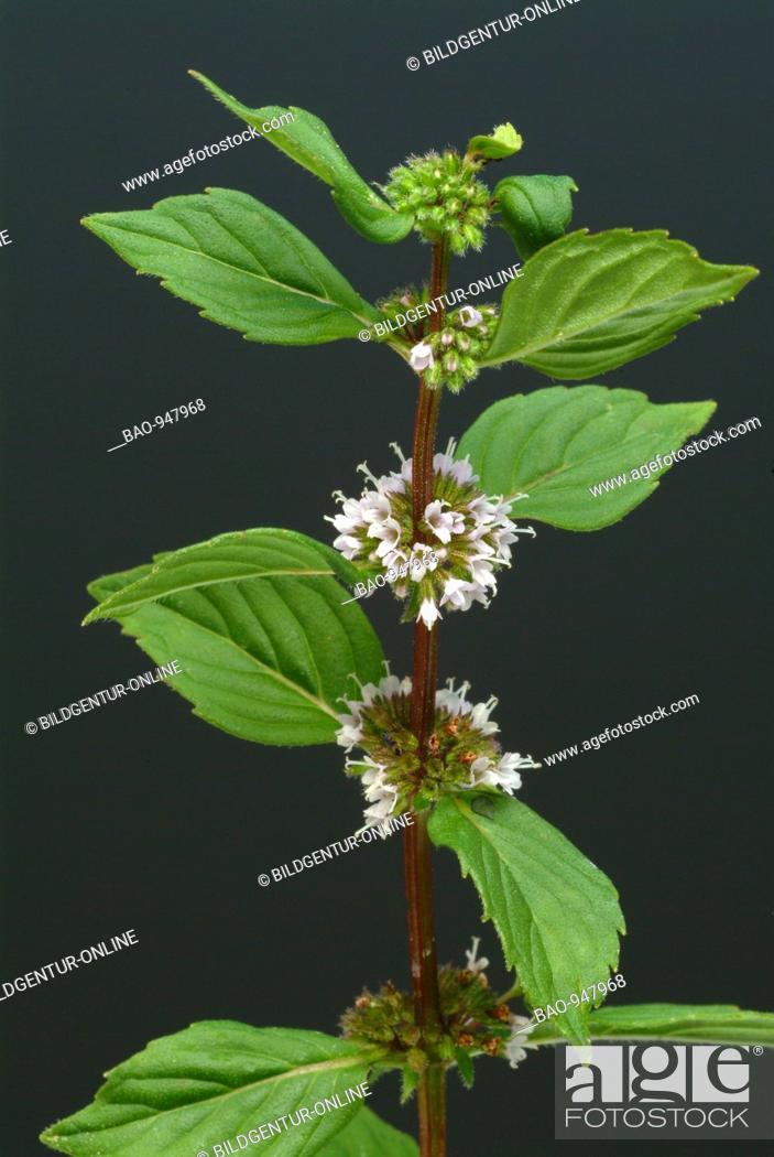 Stock Photo: Medicinal plant Peppermint, Pfefferminze, Mentha piperita, Menta piperina.