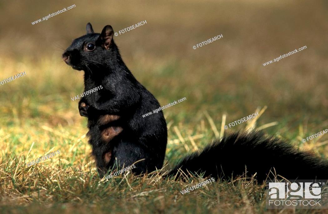 Stock Photo: hoernchen, abenddaemmerung, animals, black.