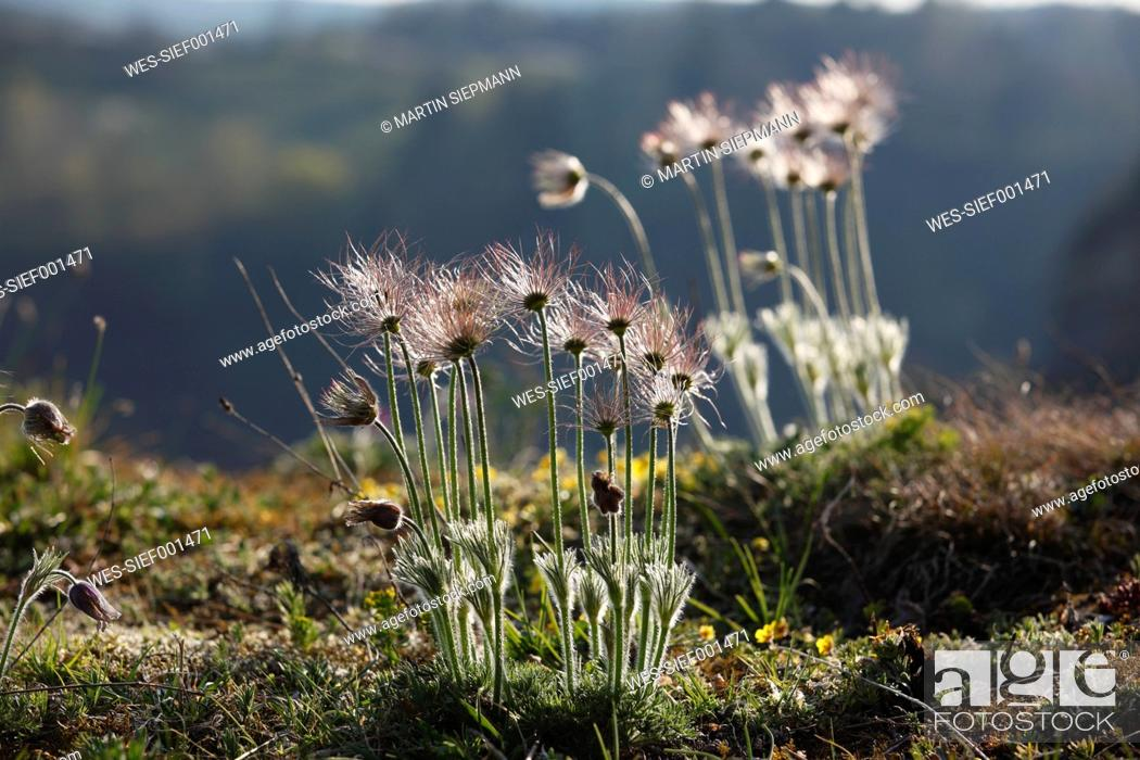Stock Photo: Germany, Bavaria, Franconia, Pottenstein, Close up of pasque flower seed.