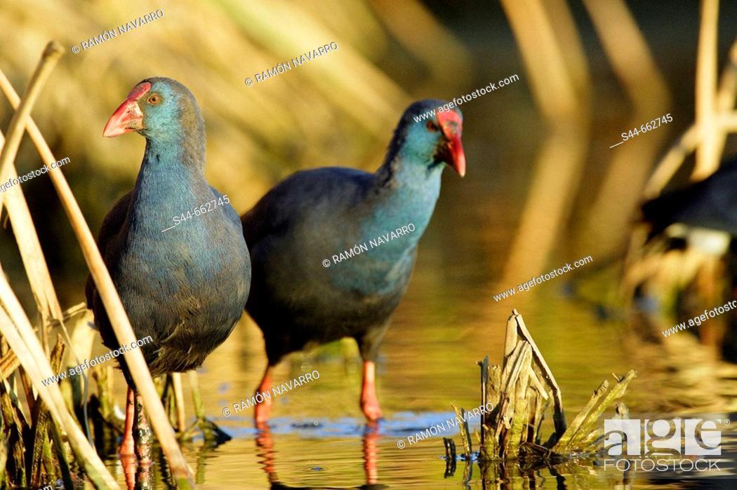 Stock Photo: Purple Swamphen (Porphyrio porphyrio). Doñana National Park. Huelva. Andalucia. Spain.