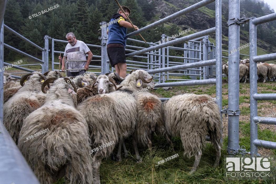 Stock Photo: shepherd gathering the flock, Riomajou, Hautes-Pyrenees department, France.