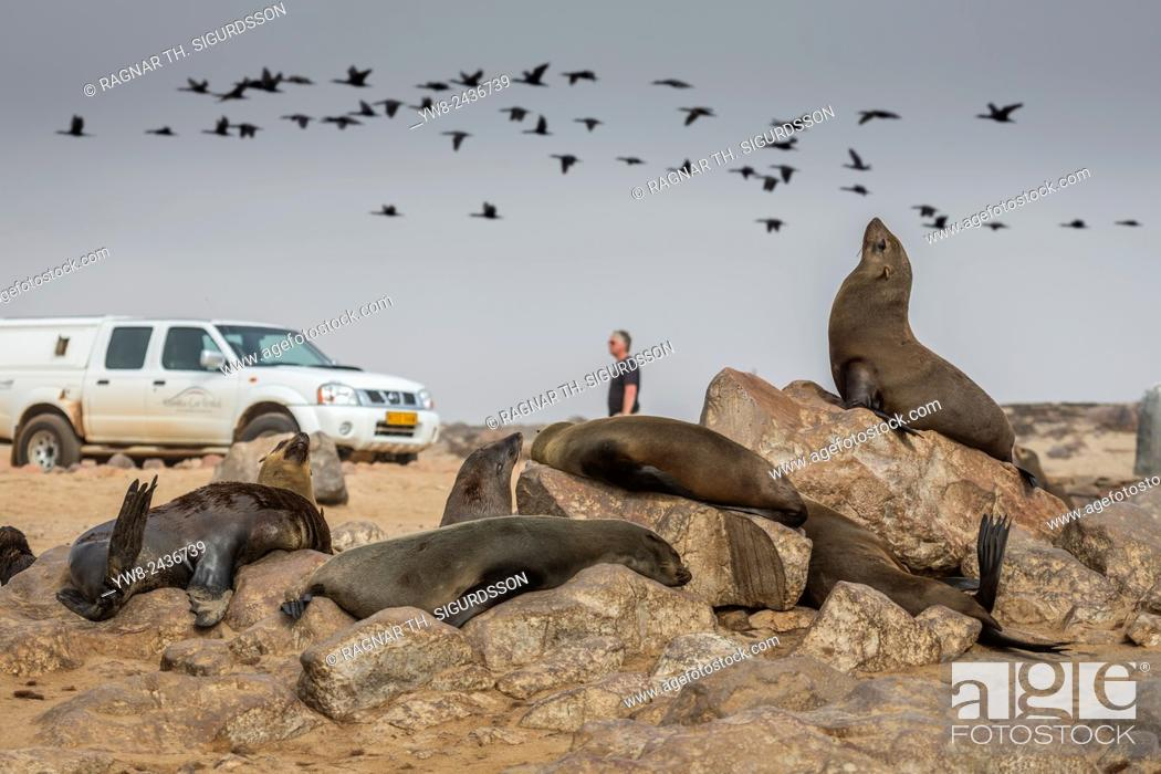 Stock Photo: Cape Fur seals (Arctocephalus pusillus), Cape Cross, Skeleton Coast, Kaokoland or the Kunene Region, Namibia, Africa.