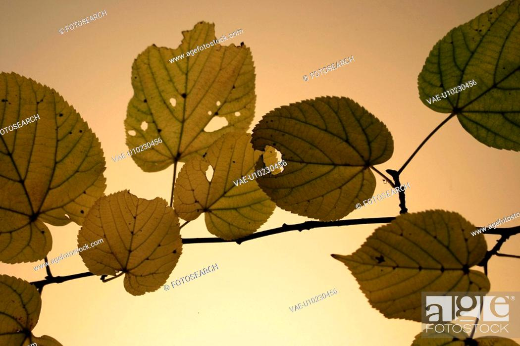 Stock Photo: foliage, autumn, close-up, CLOSE, brown, alfred.