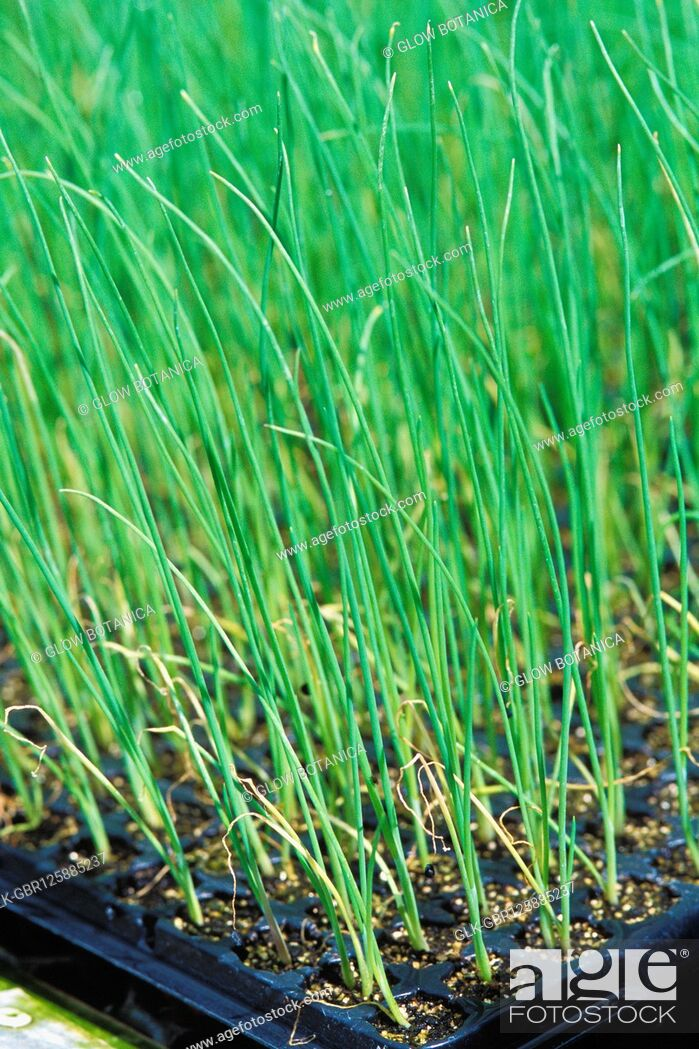 Stock Photo: Close-up of wheatgrass growing in a farm.