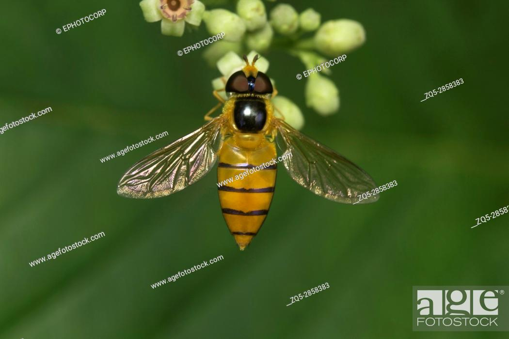 Stock Photo: Fly , Unidentified , Aarey Milk Colony , INDIA. Flies belong to their order Diptera of insects. The name Diptera arises from Green words 'di' meaning 'two' and.