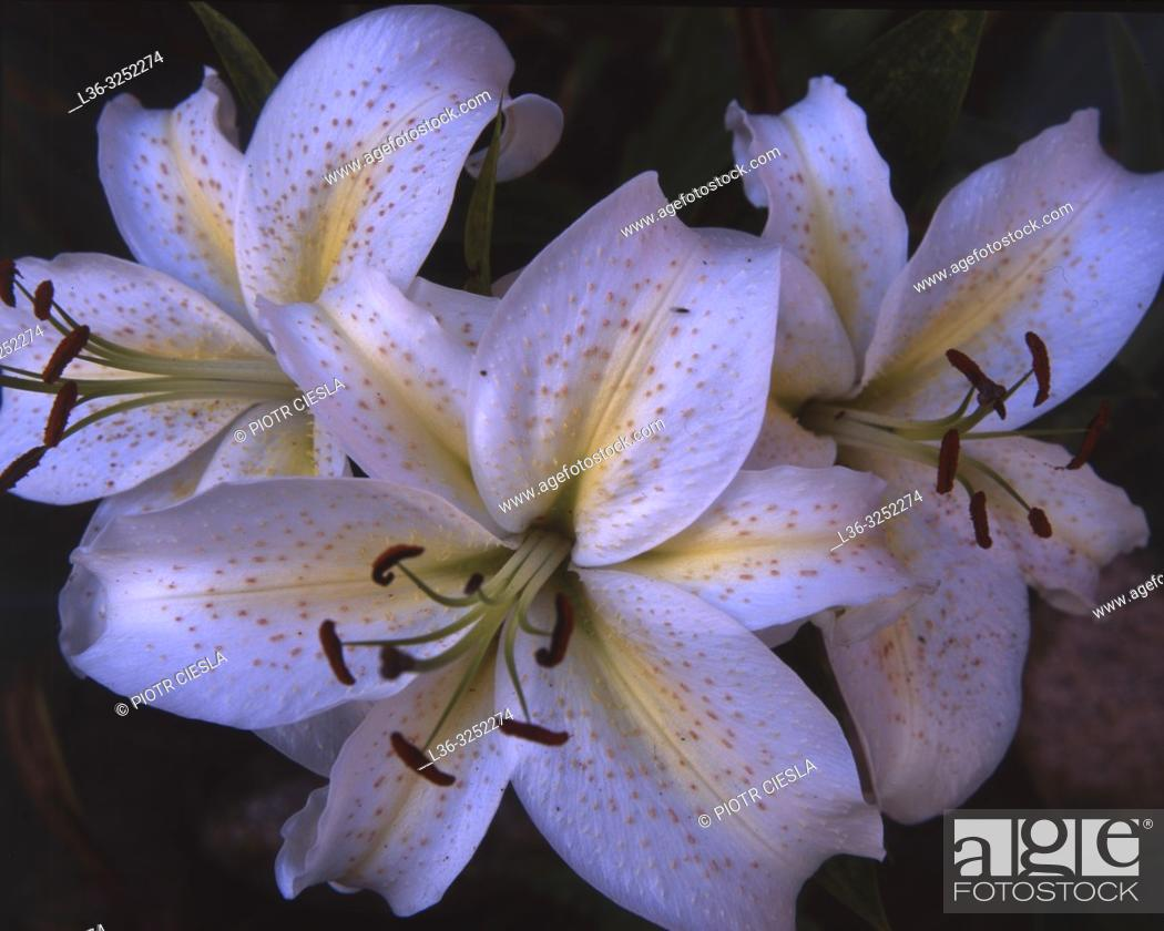 Stock Photo: Lilies.