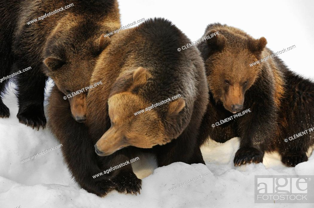 Stock Photo: Eurasian brown bear Ursus arctos arctos female with two two-year-old cubs in the snow in winter, Bavarian Forest National Park, Germany.