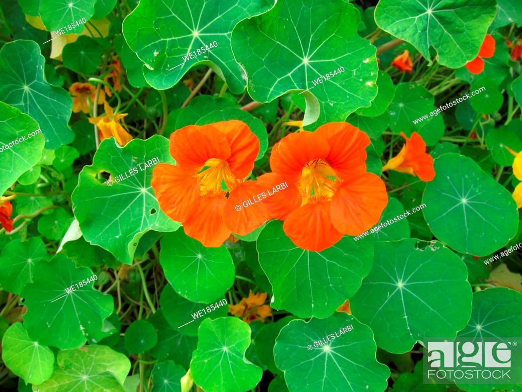 Stock Photo: nasturtium flowers in a garden.