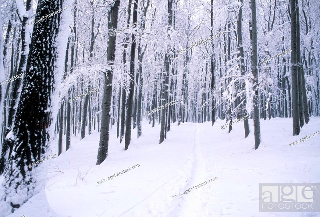 Stock Photo: lainzer, winterwald, austria, calf, cold, december, hiking trail.
