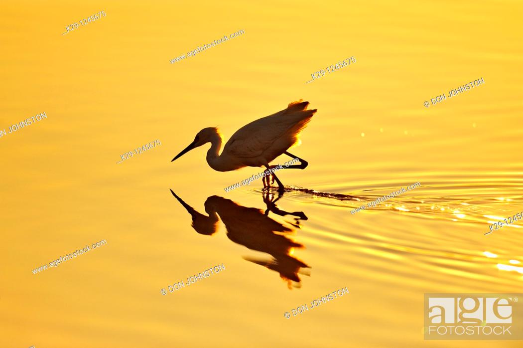 Stock Photo: Snowy egret Egretta thula Hunting shoreline.