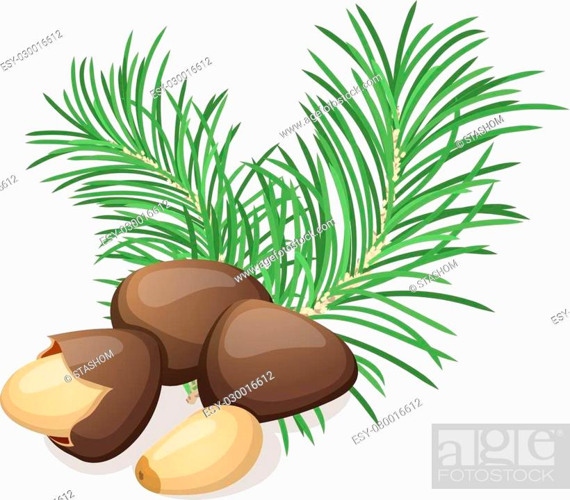 Stock Vector: Pine nuts with leafs isolated on white. Vector illustration.
