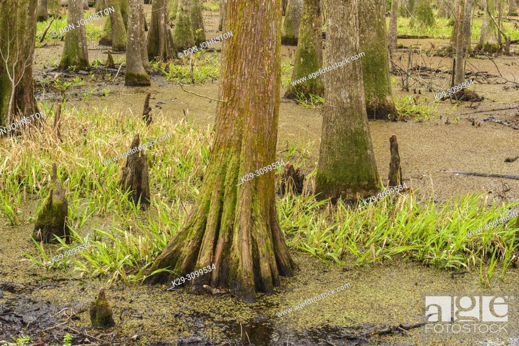 Stock Photo: Cypress swamp, Abbeville, Louisiana, USA.