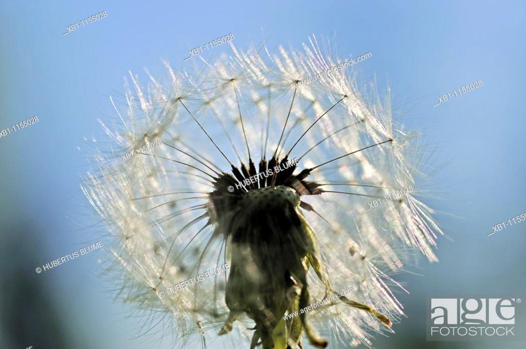 Stock Photo: Taraxacum is a large genus of flowering plants in the Asteraceae family, seed head.