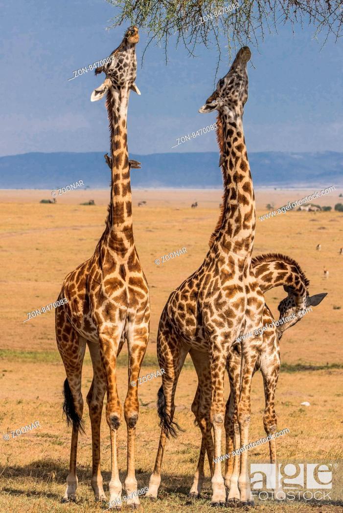 Stock Photo: Girafe,Netzgiraffe,Giraffe,Giraffa camelopardalis reticulata,.