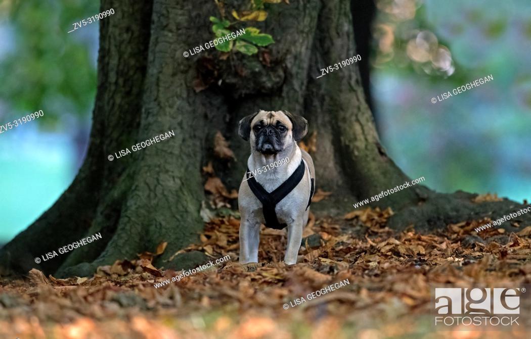 Imagen: Puggle-Cross between a Pug and Beagle dog- Canis lupus familiaris.