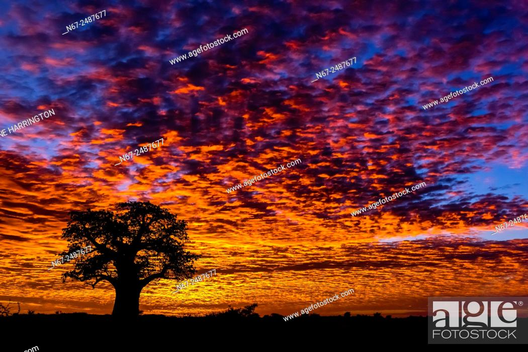 Stock Photo: A baobab tree silhouetted against a fiery sunrise, Nxai Pan National Park, Botswana.