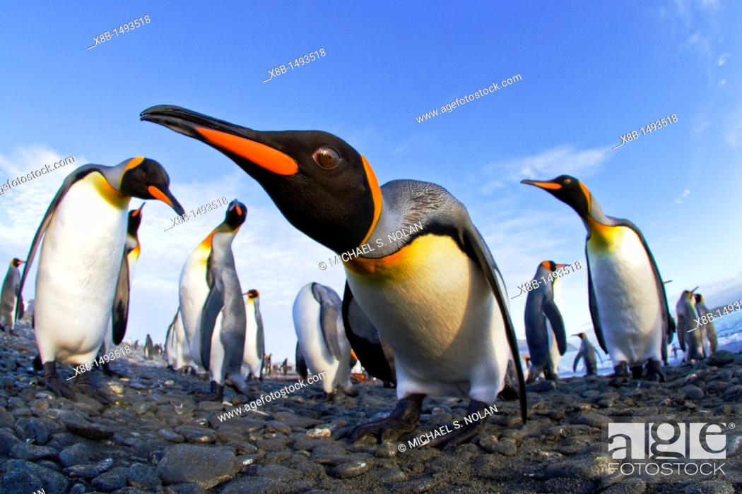 Stock Photo: King penguin Aptenodytes patagonicus breeding and nesting colony at Salisbury Plains in the Bay of Isles, South Georgia, Southern Ocean  MORE INFO The king.