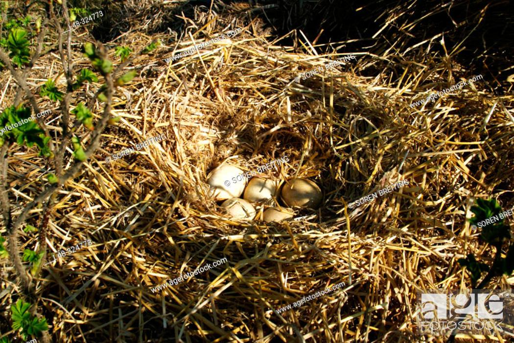 Stock Photo: Goose's nest with 5 eggs of greylag goose (Anser anser).