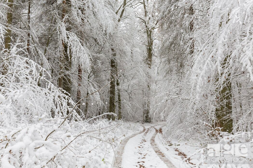 Stock Photo: Winter landscape of natural forest with oak trees snow wrapped just snowfall after, Bialowieza Forest, Poland, Europe.