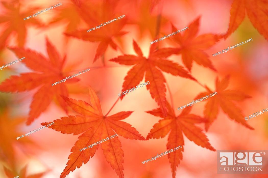 Stock Photo: Japanese Maple leaves, Hakone, Japan.