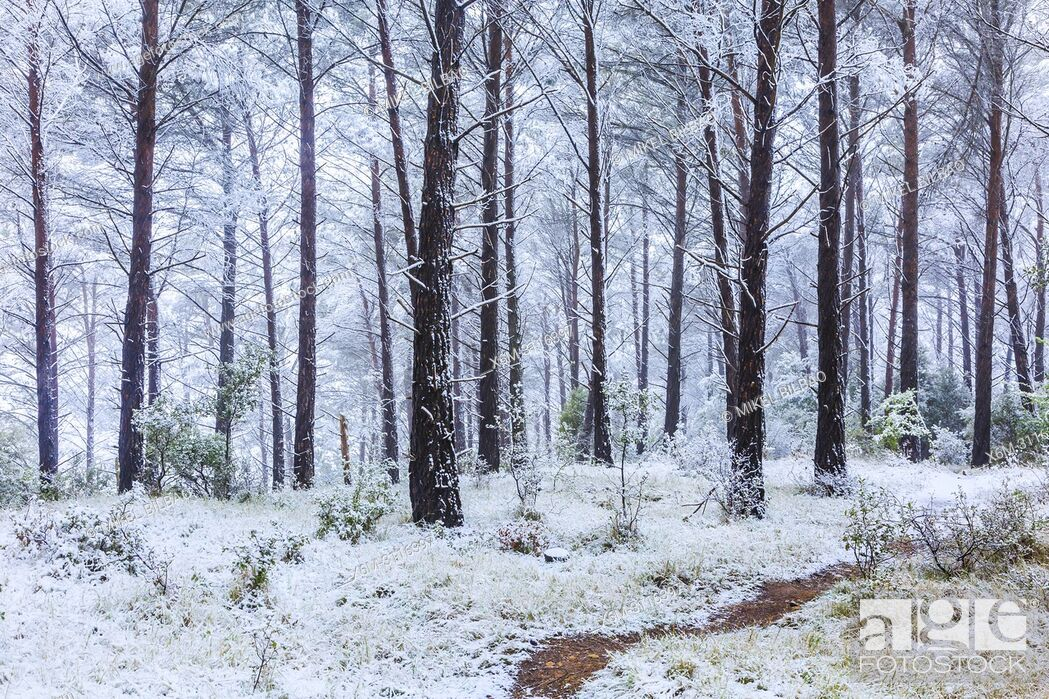 Stock Photo: Conifer forest and snow. Ayegui. Navarre, Spain, Europe.