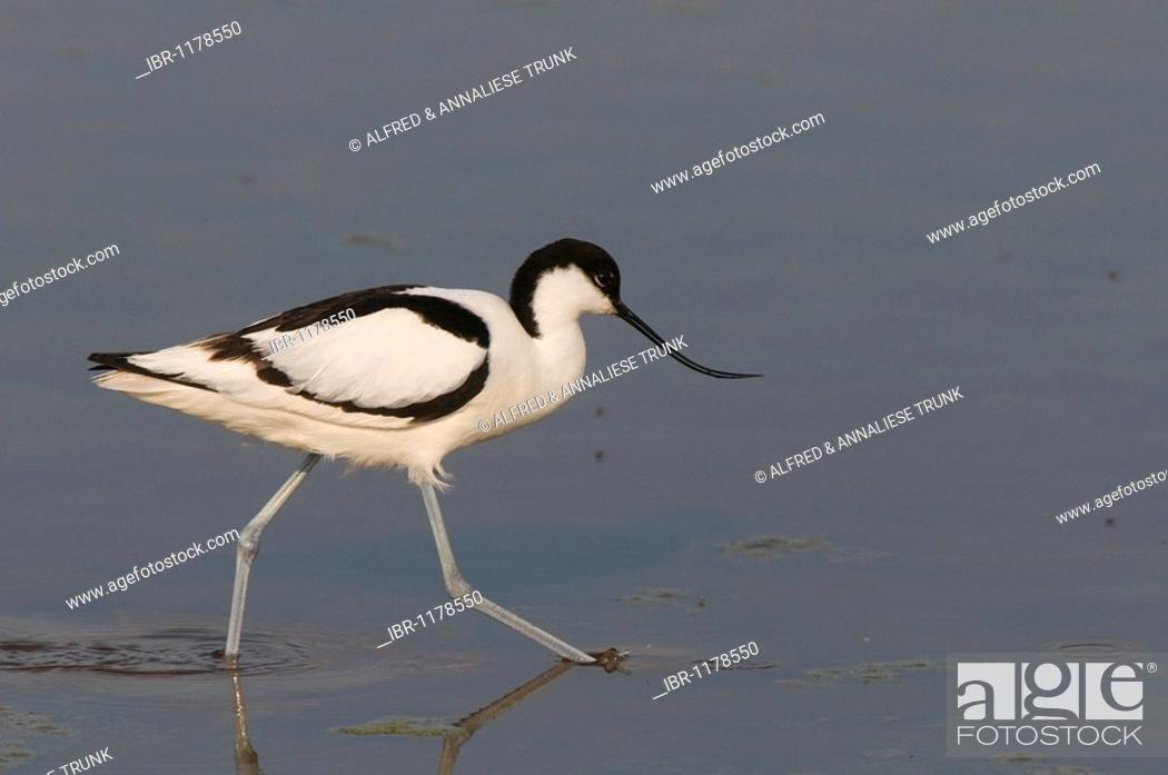 Stock Photo: Pied Avocet (Recurvirostra avosetta).