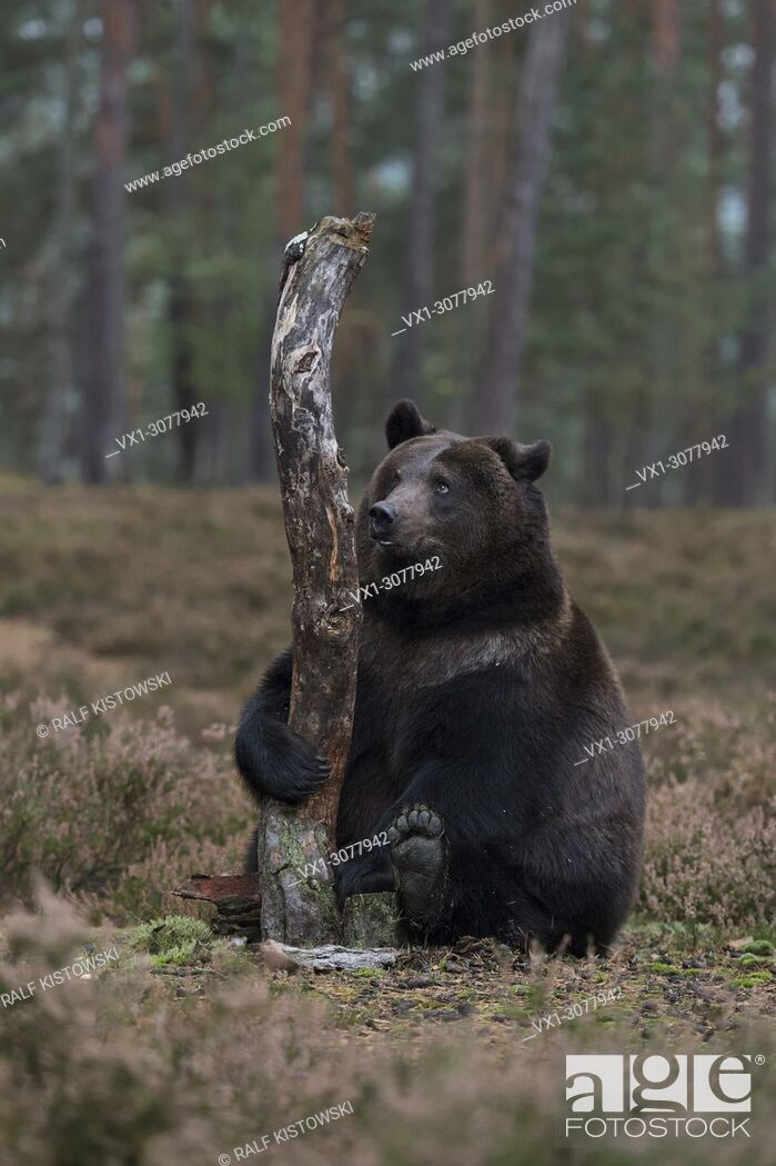 Stock Photo: Brown Bear ( Ursus arctos ), sitting on its back on a wide clearing behind a tree, holding the trunk with its paw, looks so cute and funny, Europe.
