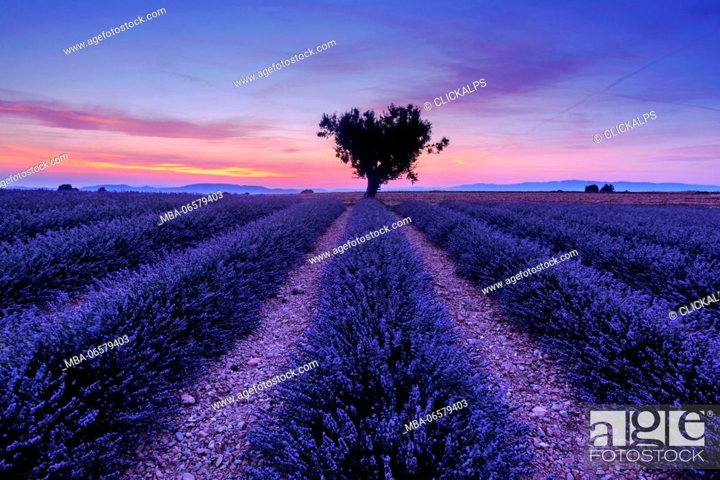 Stock Photo: Shortly after sunset among the lavender fields, Valensole, Provence, France.