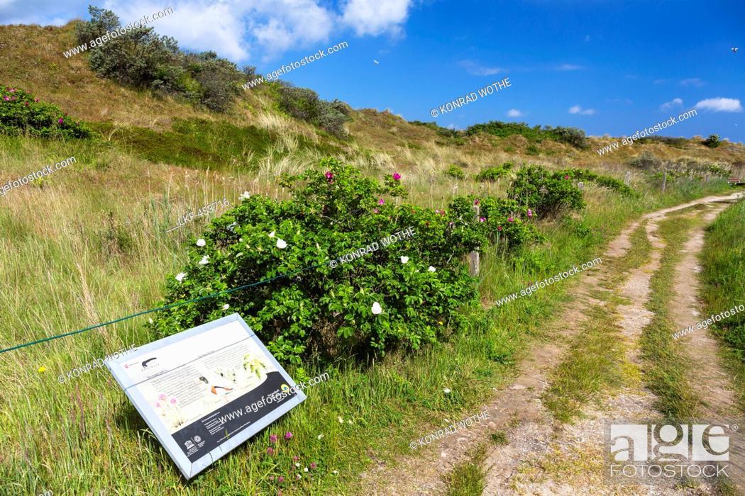 Stock Photo: Flinthoern nature trail, Dunes, Langeoog Island, North Sea, National Park, East Frisian Islands, East Frisia, Lower Saxony, Germany, Europe.