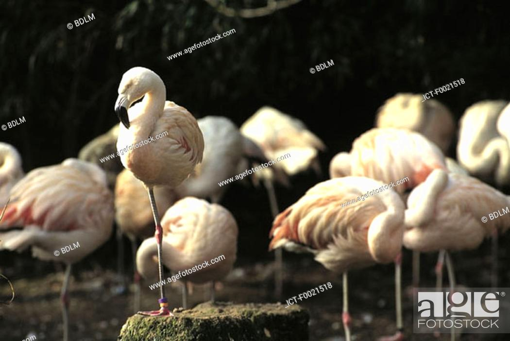 Stock Photo: Channel Islands, Jersey, flamingos at the zoo.