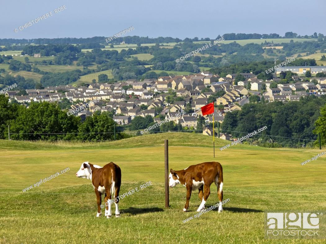 Stock Photo: Cattle roam freely around the golf course on Minchinhampton Common in the Cotswolds, Gloucestershire, UK.