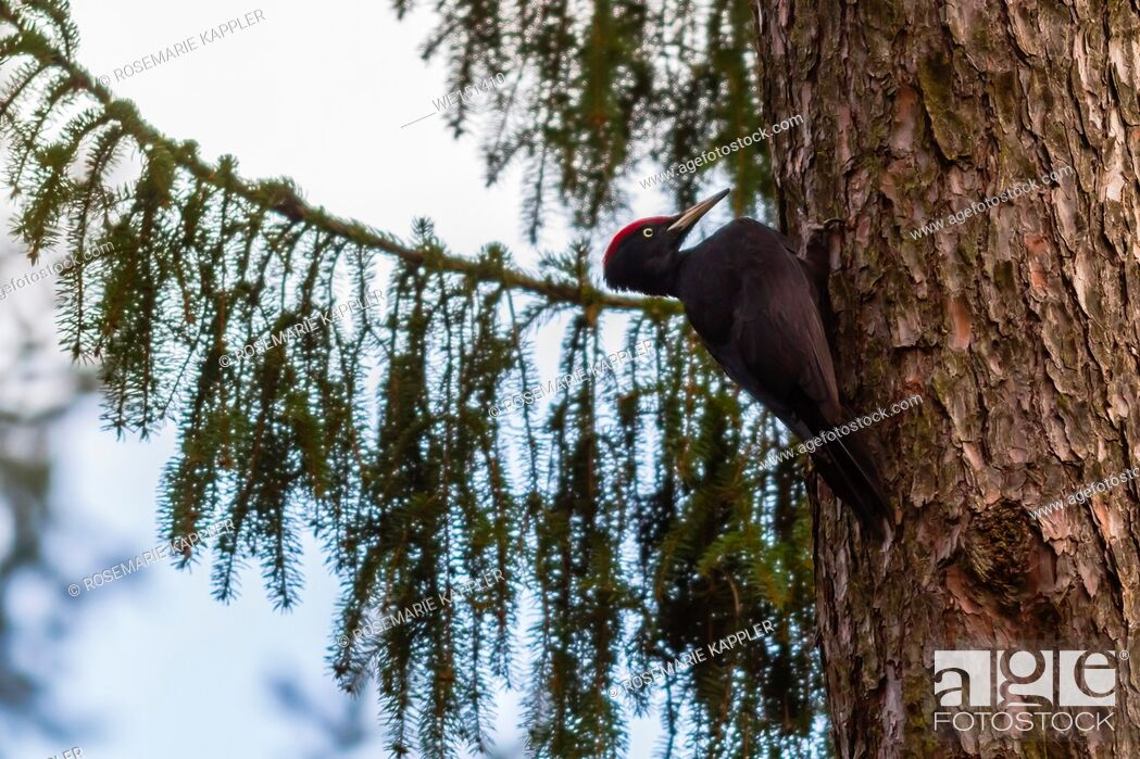 Stock Photo: germany, saarland, homburg - A black woodpecker on a tree bole is searching for fodder.