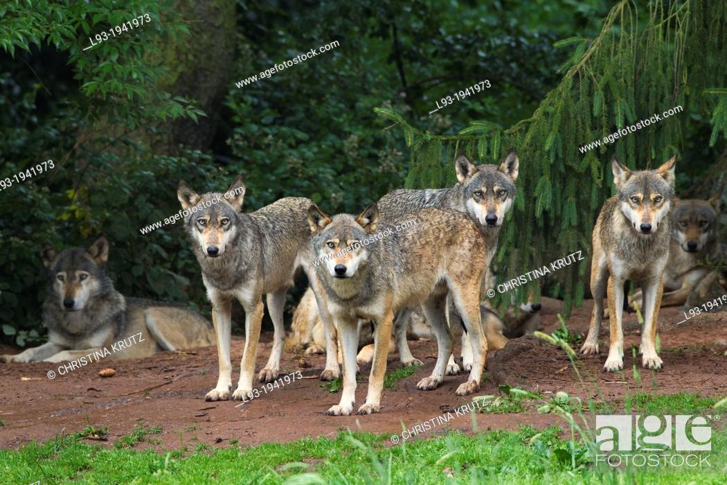 Stock Photo: European gray wolf, Canis lupus lupus, pack, Germany.