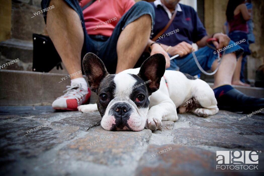 Stock Photo: French bulldog.