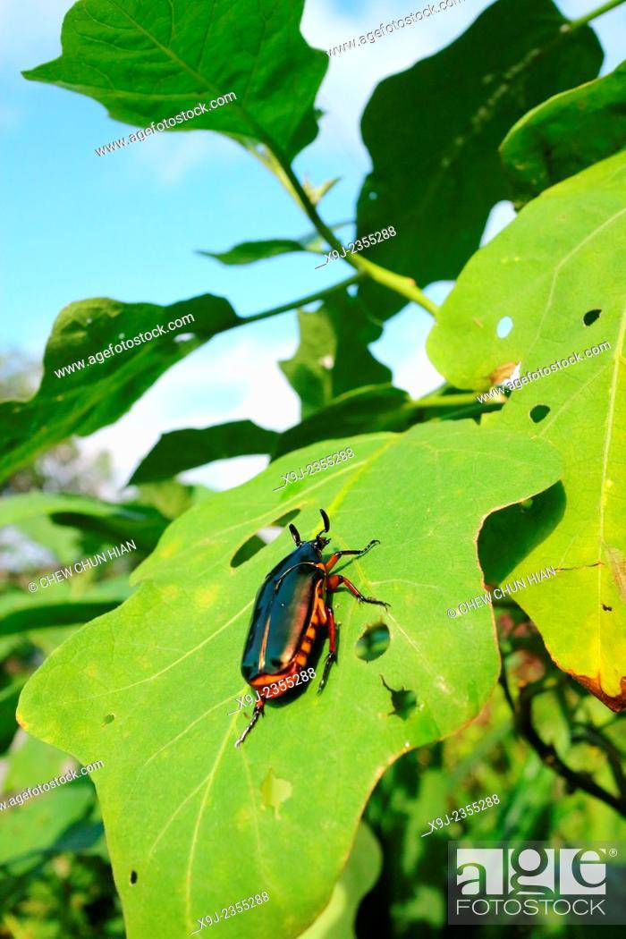 Stock Photo: Beetle, blue color of Beetle, borneo.