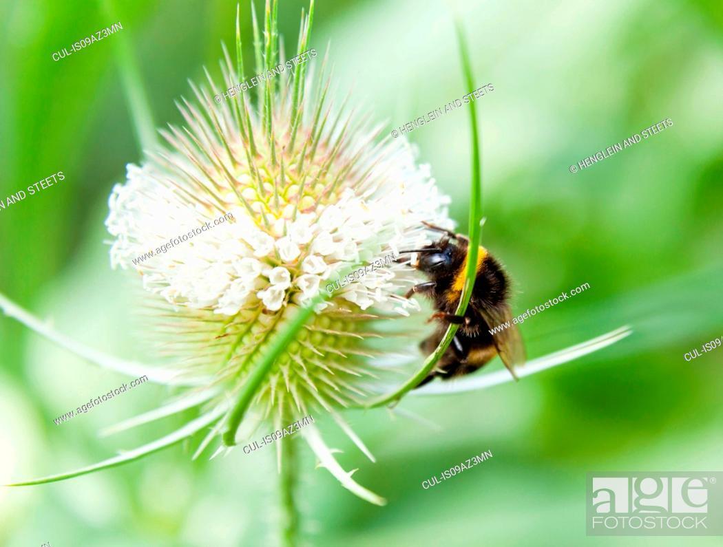 Stock Photo: Close up of bumblebee feeding on wildflower nectar.