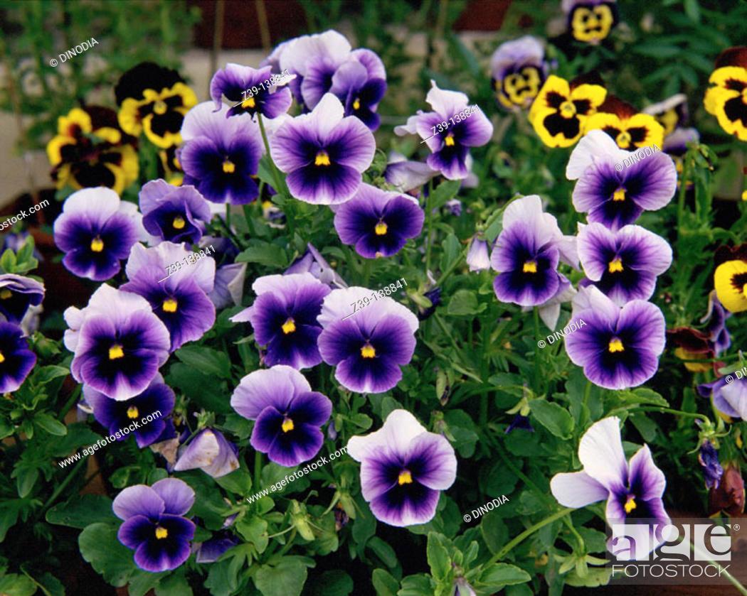 Stock Photo: Pansies (Viola hortensis).