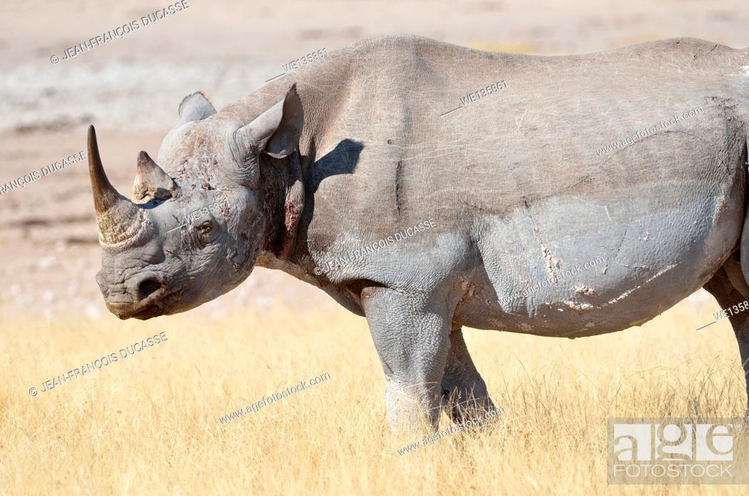 Imagen: Black rhinoceros (Diceros bicornis), adult male standing in dry grass, Etosha National Park, Namibia, Africa.